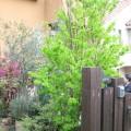 枕木門柱とシンボルツリーのカツラ