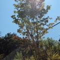 シンボルツリーは株立樹形が美しいヤマボウシ